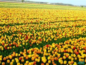 Primavera in Olanda tra mulini e tulipani