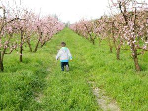 La strada dei ciliegi in fiore di Villanova sull'Arda-Piacenza