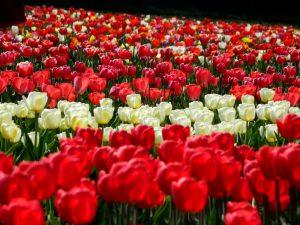 tulipani vicino a milano: il campo di Arese