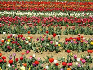 tulipani a milano ad Arese