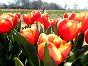 Tulipani a Milano: il campo di Arese