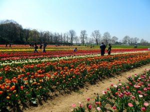 tulipani taliani : il campo di Arese