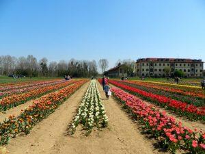tulipani italiani vicino a Milano