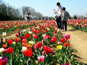 tulipani a milano: il progetto tulipani italiani