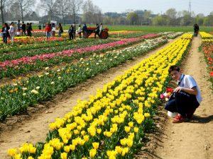 """il campo di tulipani """"U pick"""" ad Arese vicino a Milano"""