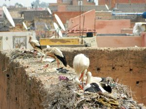 le cicogne della kasbah di marrakech