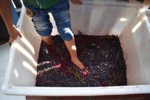 pigiatura dell'uva alle tenute tonalini