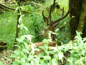 cervo nel bosco della mesola