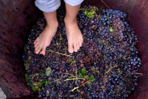 pigiatura dell'uva alla vendemmia in famiglia