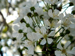 sakura a milano