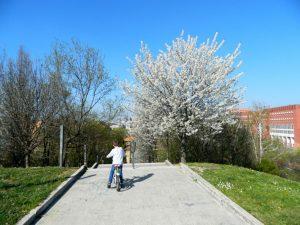 in bici alla collina dei ciliegi