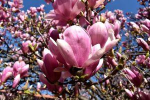 magnolie a Milano