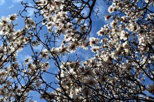 origine magnolie