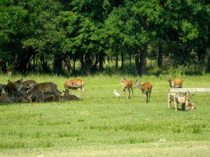 cervi del bosco della Mesola