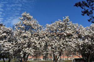 alberi di magnolie