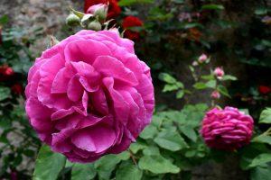la rosa più profumata del roseto