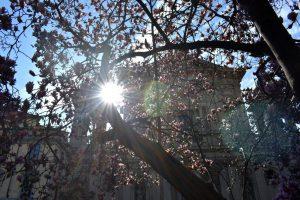 le magnolie di piazza Tommaseo a Milano