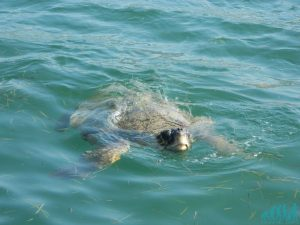 tartarughe a cefalonia