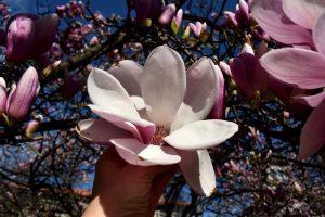 magnolie in italia