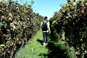 passeggiando tra le vigne di san colombano al lambro