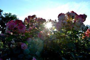 isola delle rose idroscalo