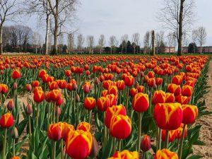 tulipani italiani in modalità virtuale
